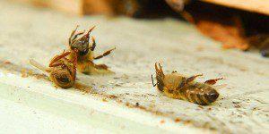 Un signe anonciateur de la disparition des abeilles, on les retrouvent mortes, intoxiquées par les pesticides