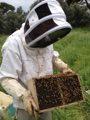 Le conditionnement des abeilles