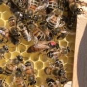 Acceptation de la reine lors de l'introduction dans la ruche