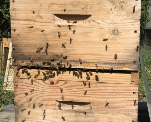 Eleveuse de reines d'abeilles avec plateau Cloake