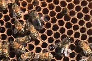 La sélection des mâles pour la prouction de reines