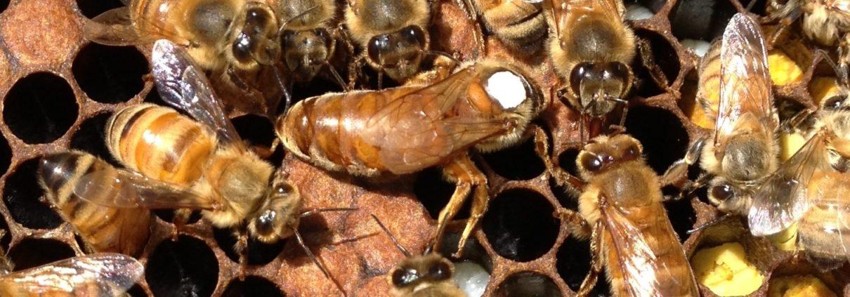 Vente reines d'abeilles