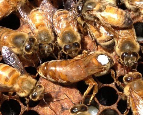 Vente reines d'abeilles fécondées et sélectionnées
