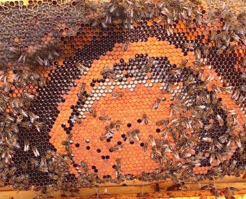 couvain bien entourré de miel et pollen